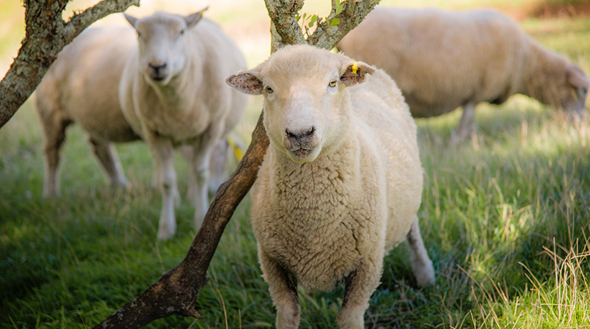 Sheeps in field, close up shot